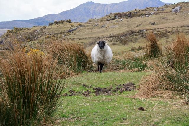 kitchencat-Schafe zählen