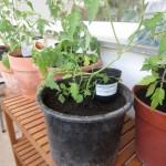 """Tomatenprojekt 2013 – Teil 1 """"Der Einzug"""""""