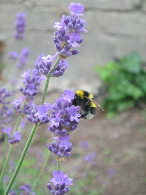 kitchencat-Hummel am Lavendel