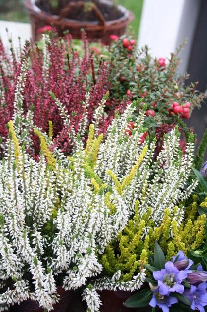 wie herbstpflanzen ohrw rmer ausl sen kitchencat kitchencat On blühende winterpflanzen