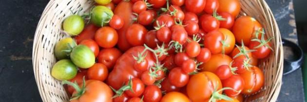 """Tomatenprojekt 2013 – Teil 3 """"Die Ernte"""" inkl. Rezept und Buchtipp"""